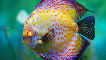 discus-fish